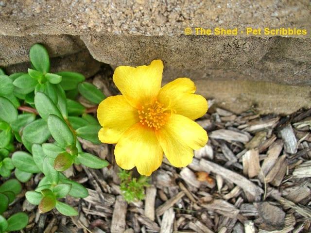 Single-flower Portulaca in sunny lemon yellow!