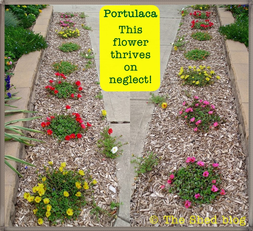 Portulaca This Plant Thrives On Neglect Pet Scribbles