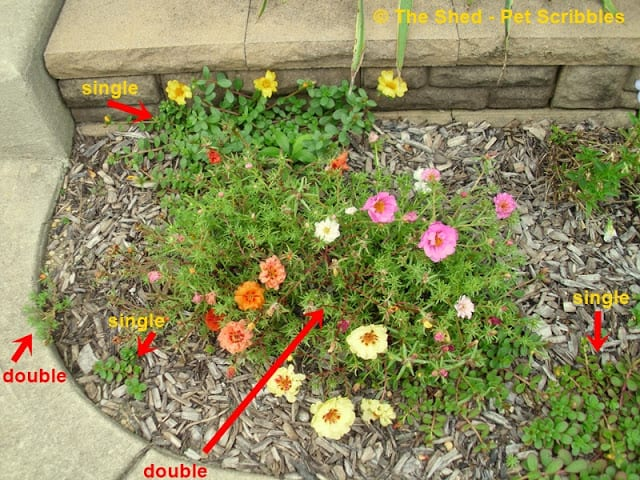 Seedlings will pop up from the previous year's dropped seeds, but not invasively.