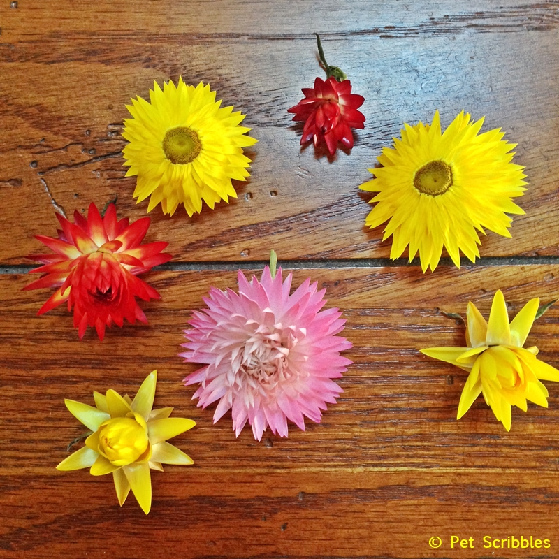 Dry Your Own Strawflowers - it's SO easy!