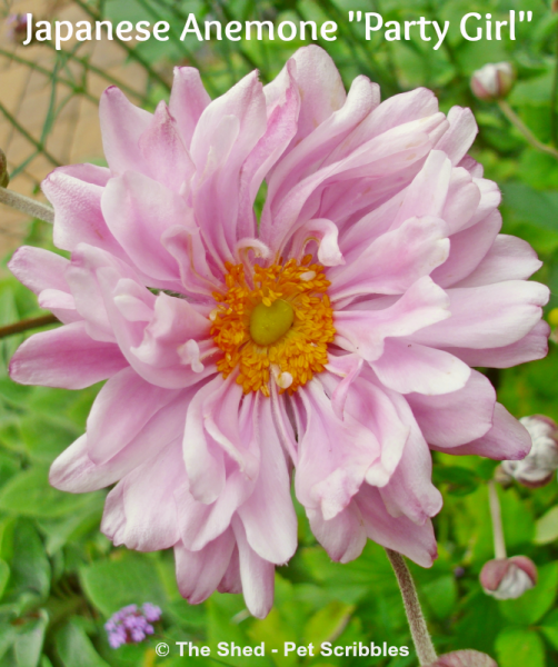 """Japanese Anemone """"Party Girl"""" - a perennial that just might become your favorite Fall flower!"""