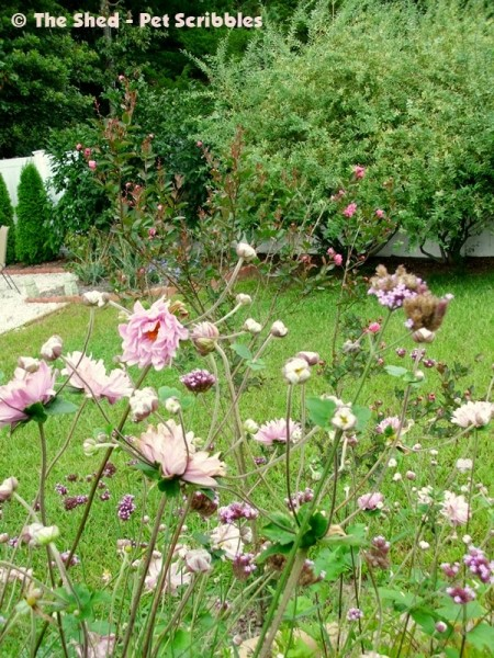 """Japanese Anemone """"Party Girl"""" blooms profusely from late-Summer through mid-Fall!"""