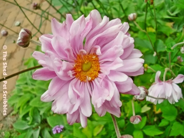 """""""Party Dress"""" Japanese Anemone"""
