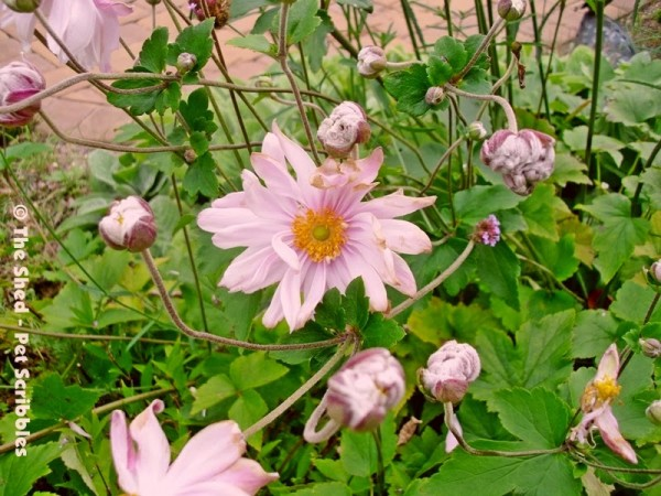 Japanese Anemone Party Dress is a tough - yet pretty - flowering perennial to add to your Fall garden!