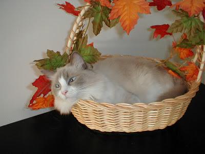 Lulu the cat looking cute in a basket!