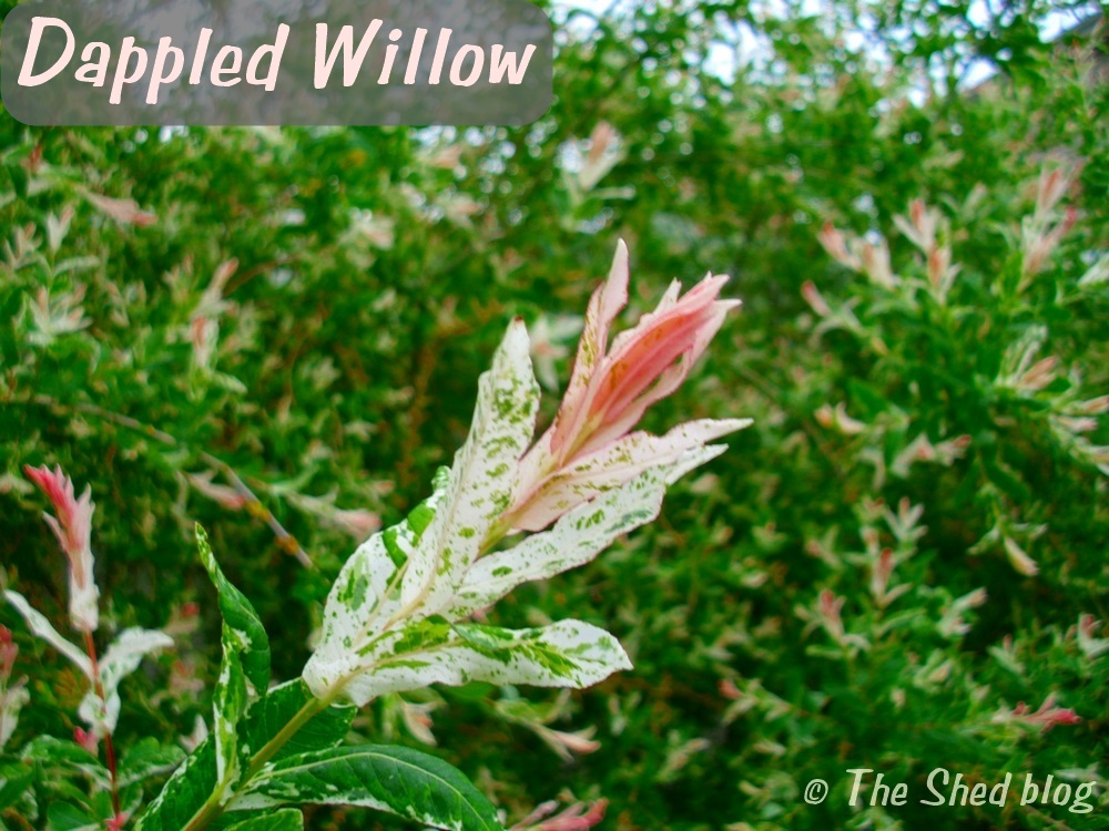 Dappled Willow: The perfect plant for your yard's wet spots!