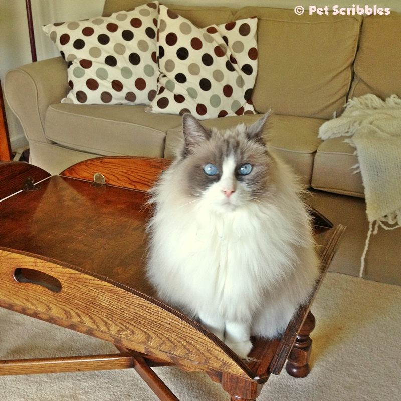 Lulu on the antique coffee table, where she's not supposed to be.