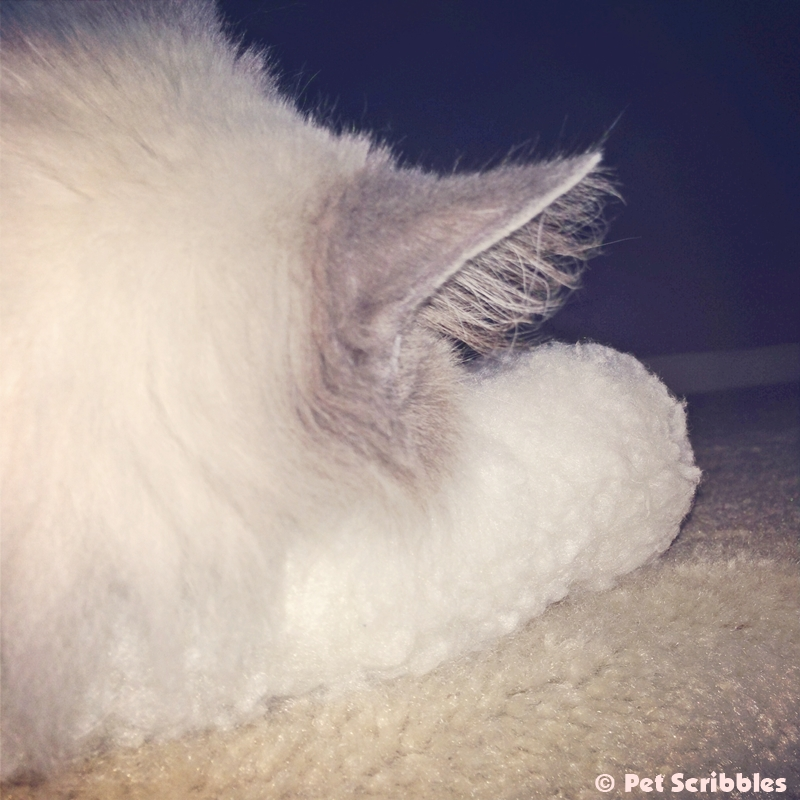 Lulu's fluffy ear - captured as she dreams her kitty dreams!