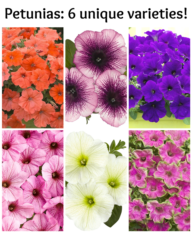 I love Petunias: 6 unique varieties to plant in your garden!