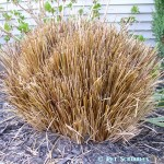 It's Spring – time to cut the grass: ornamental grasses, that is!