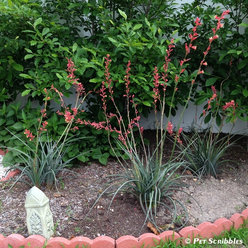 Red Yucca: a gorgeous, long-blooming perennial with coral-pinkish-red flower stalks. Drought tolerant and easy-care!