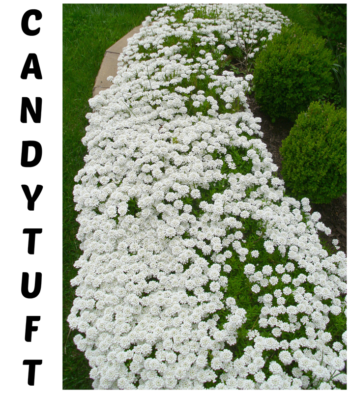 Candytuft: An update on this must-have garden favorite!