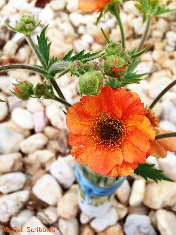 Geum (Avens) perennial called Totally Tangerine - pretty orange flowers!