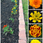 Plant Marigolds in the Vegetable Garden!