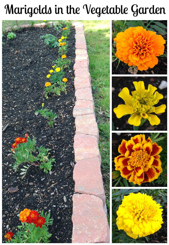 Marigolds in the Vegetable Garden? Yes! Learn about the many benefits of adding marigolds to your own garden this year!