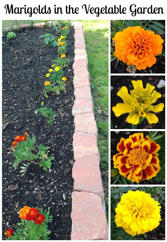 Plant Marigolds In The Vegetable Garden Pet Scribbles