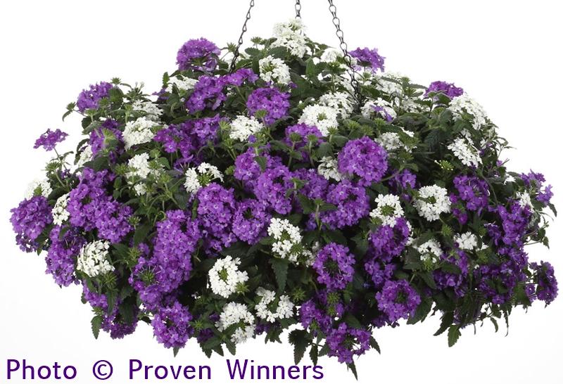 Proven Winners Superbena Verbena Hybrids (annuals)