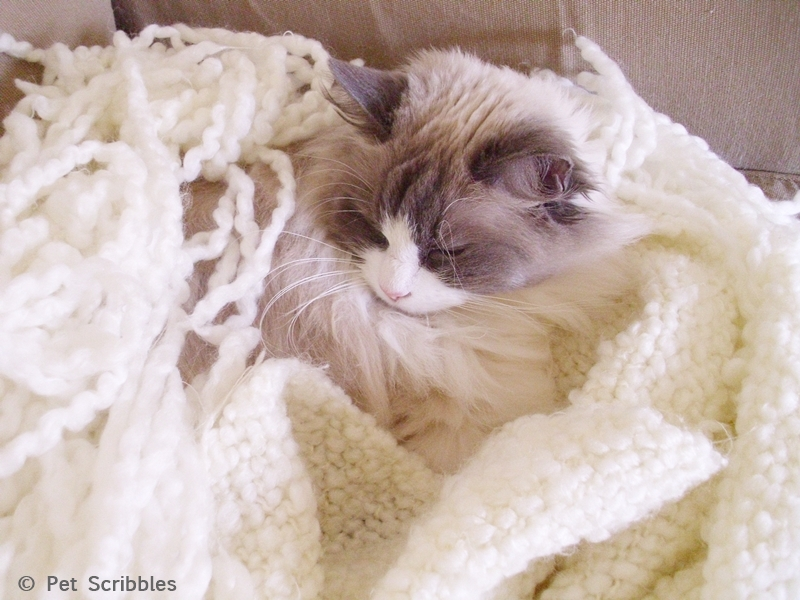 Sleepy Lulu: our sweet, 14-years-young, Ragdoll cat!