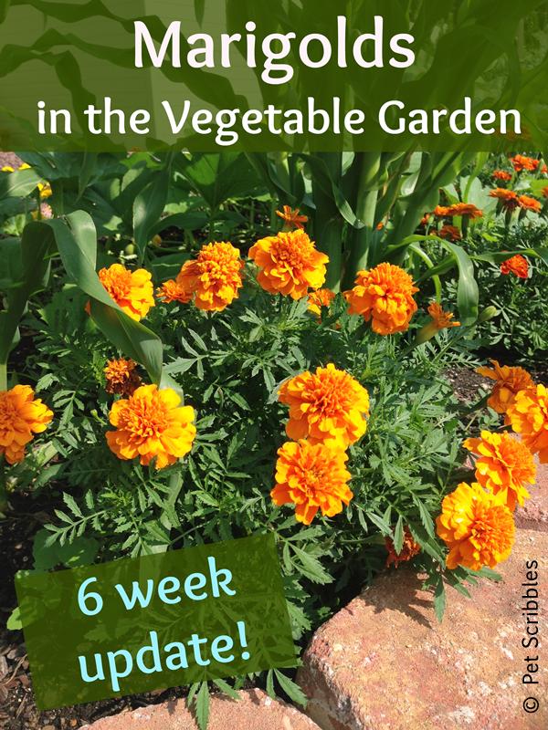 Marigolds in the Vegetable Garden: experiment update after six weeks!