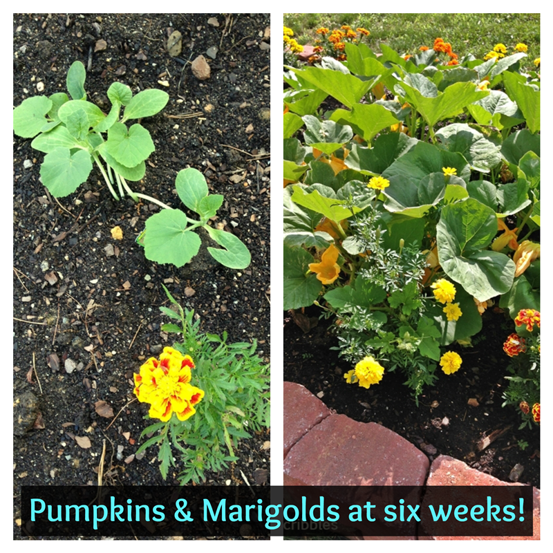 Marigolds and Pumpkins: newly planted and six weeks later!