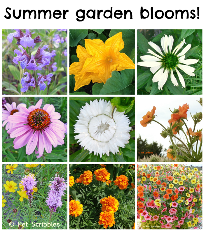 Summer garden blooms up close: a photo essay of pretty, easy-care flowers! (www.PetScribbles.com)
