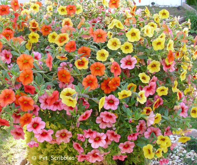 Summer garden blooms up close: Calibrachoa! (www.PetScribbles.com)