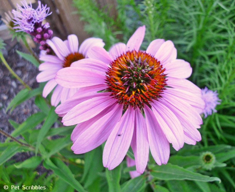 Summer garden blooms up close: Purple Coneflower! (www.PetScribbles.com)