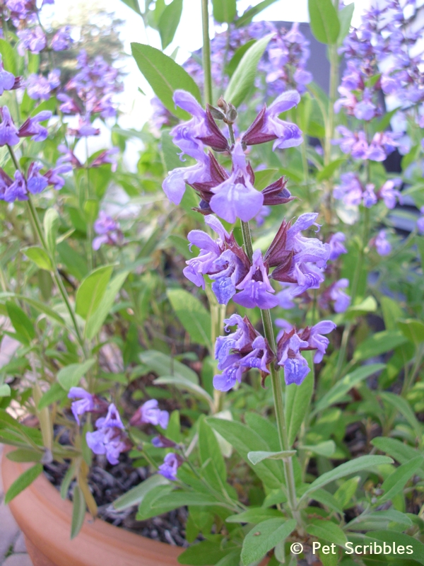 Summer garden blooms up close: Sage in bloom! (www.PetScribbles.com)