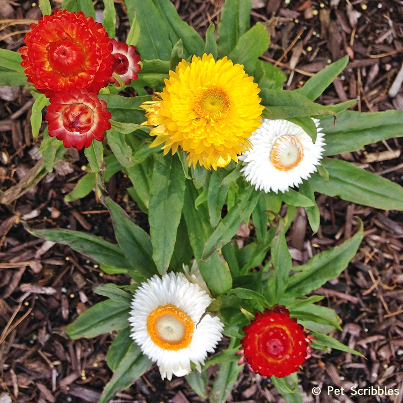 Summer garden blooms up close: Strawflowers!  (www.PetScribbles.com)