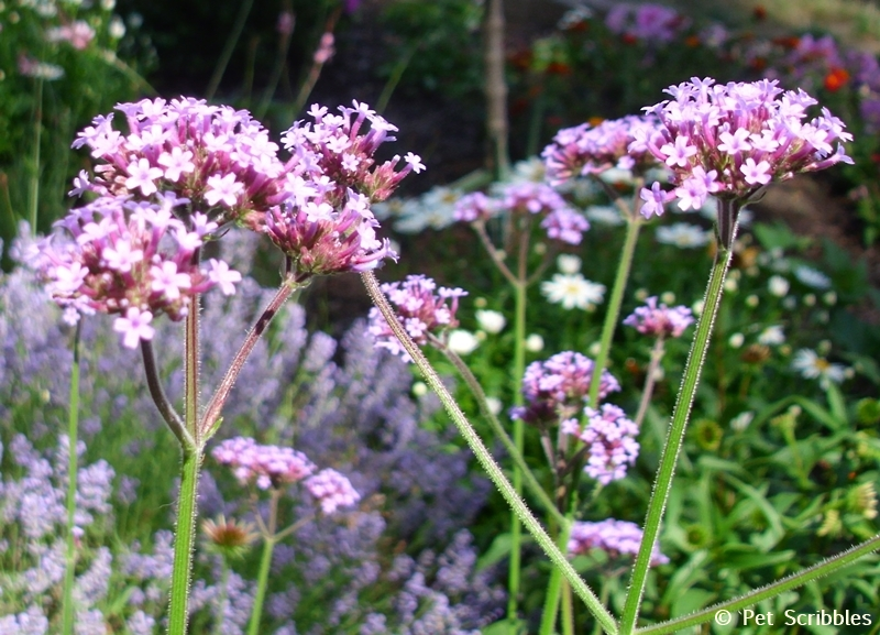 Summer garden blooms up close: Verbena bonariensis! (www.PetScribbles.com)