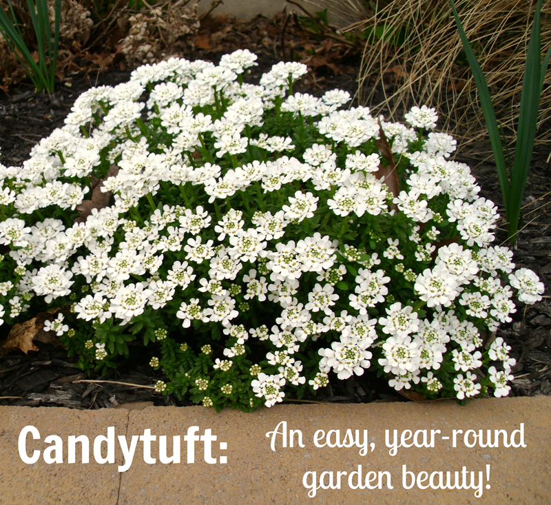 candytuft an easy yearround garden beauty, Natural flower