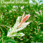Dappled Willow: Your Yard's Wet Spot Dream!