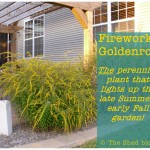 Fireworks Goldenrod: Light up your late-Summer, early-Fall garden!