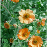 Geum: Perennial Flowers for your Garden