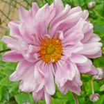 "Japanese Anemone ""Party Dress"" is my favorite Fall flower!"