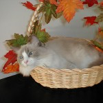 Happy Thanksgiving from Lulu the Cat!