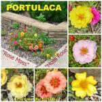 Portulaca, Rose Moss, Moss Rose