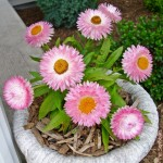 Strawflowers: Long-blooming drought-tolerant flowers!