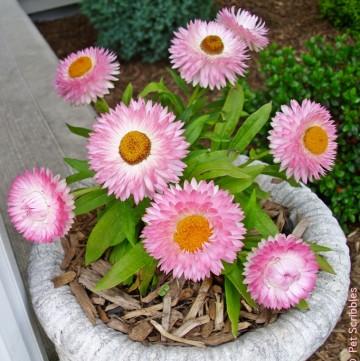 Strawflowers: Long-blooming drought-tolerant flowers!