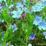 Blue Perennial Flowers? Try Lithodora! (an update)