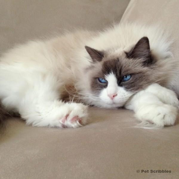 Lulu, the ragdoll cat