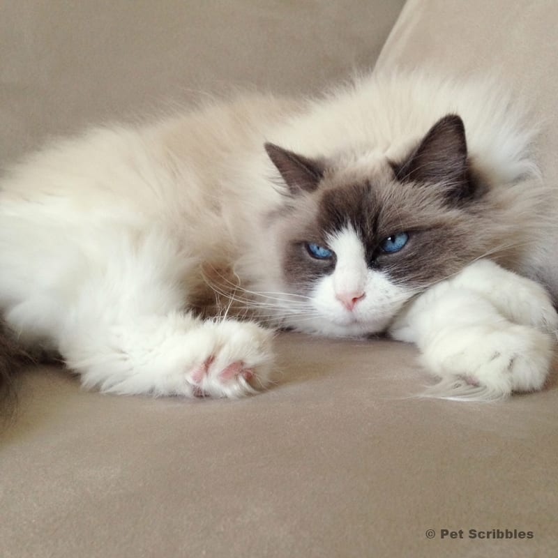 Lulu, the ragdoll cat