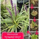 How to prune Variegated Lilyturf (Liriope Muscari)