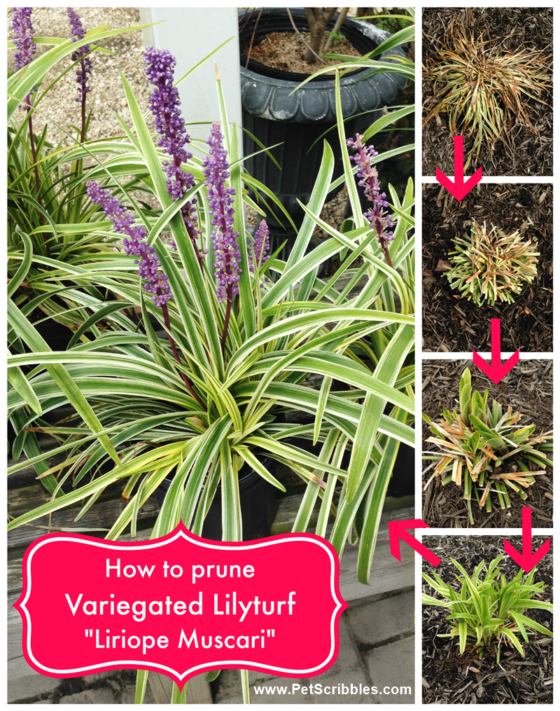 How To Prune Variegated Lilyturf Liriope Muscari Pet Scribbles