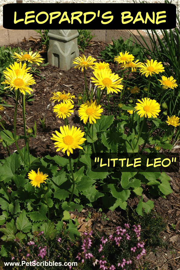 Little Leo Leopard's Bane - an easy-care, Spring-flowering perennial that blooms non-stop all season long!