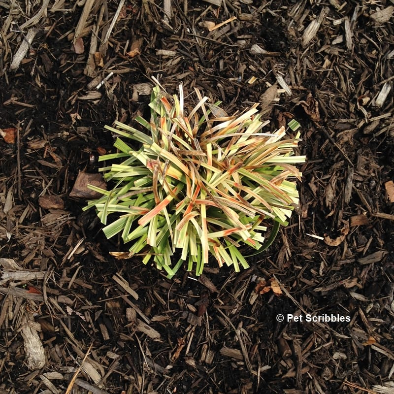 how to prune variegated lilyturf