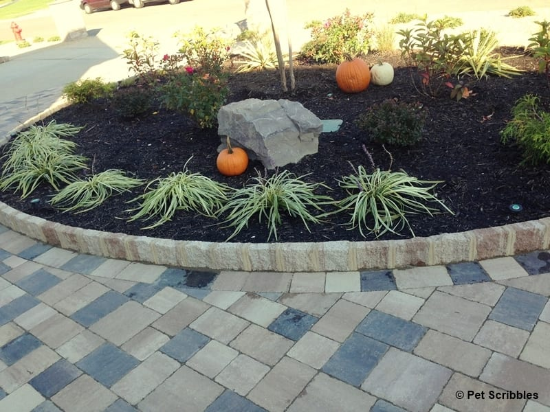 variegated lilyturf in the fall