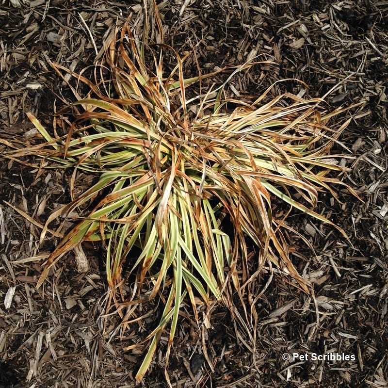 How to prune Variegated Lilyturf (Liriope Muscari) - Pet ...