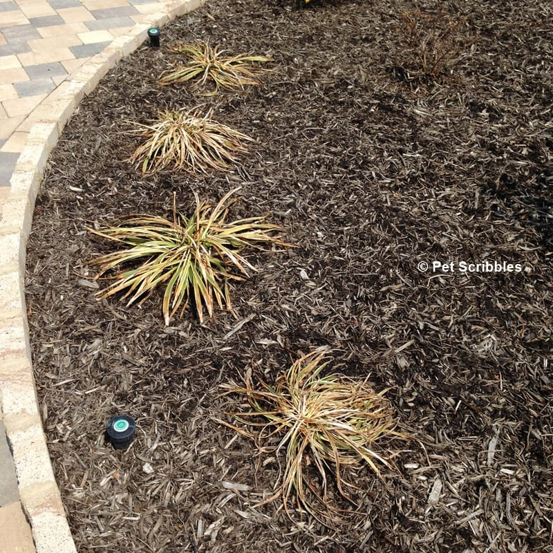 when to prune variegated lilyturf
