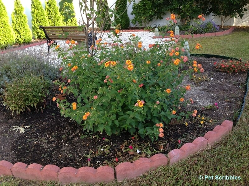 Lantana flowers in September